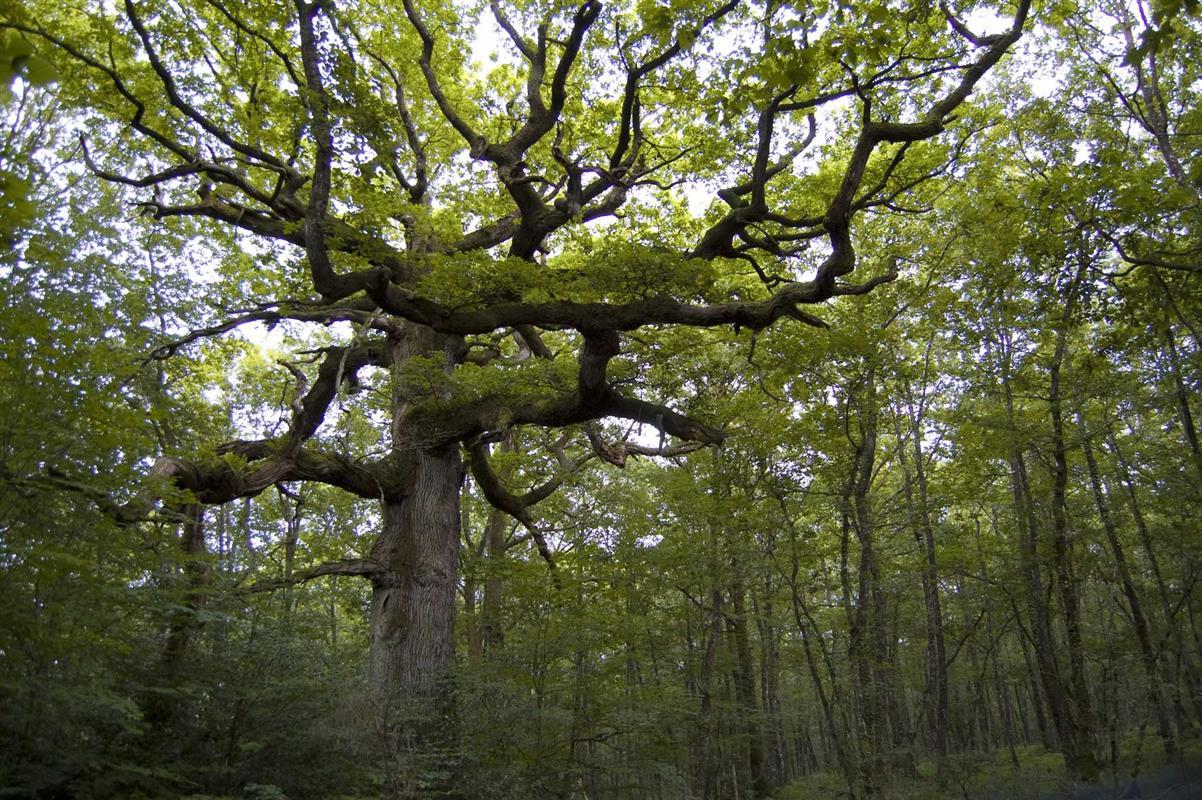 Un arbre de la forêt de Brocéliande